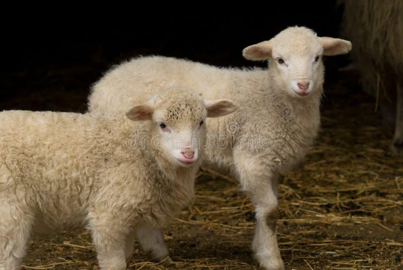 Jumeaux d'agneau de Pâques dans la grange image stock