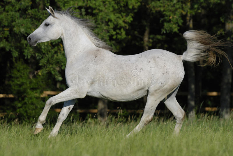 Jument Arabe blanche image stock