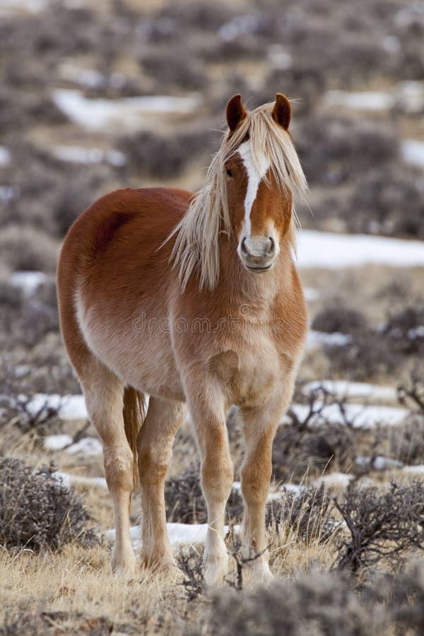 Jument de cheval sauvage au Wyoming image libre de droits