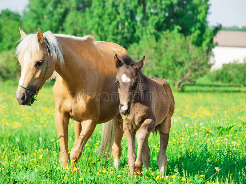 Jument de poney de gallois avec le pré de poulain au printemps image libre de droits