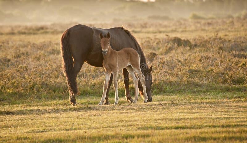 Jument et poulain neufs de poney de forêt au lever de soleil images libres de droits