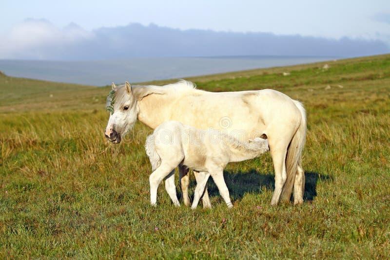 Jument neuve de durée, de Dartmoor et poulain. images stock