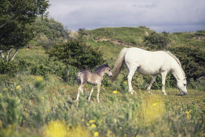 Jument sauvage avec le poulain au Pays de Galles, R-U images libres de droits