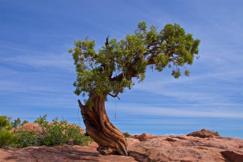 Jumiperboom die zich alleen in het Dode Park van de Staat van het Paardpunt in Utah bevinden stock fotografie