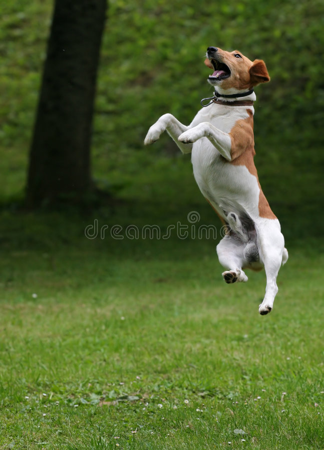 Jump 2. Dog jump into the air royalty free stock photo