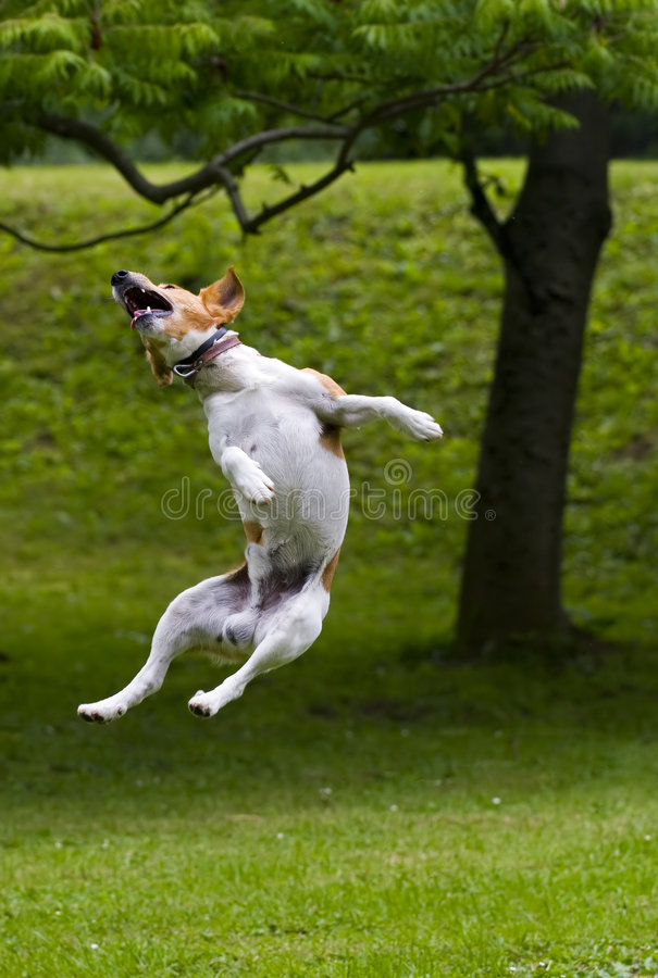 Jump. Dog jump into the air royalty free stock photos
