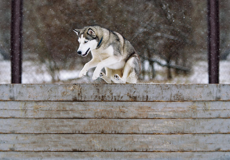 Jump of a dog through an obstacle. The Siberian husky and obedience training in winter. The dog Siberian husky and obedience training in winter. Jump through an royalty free stock photo