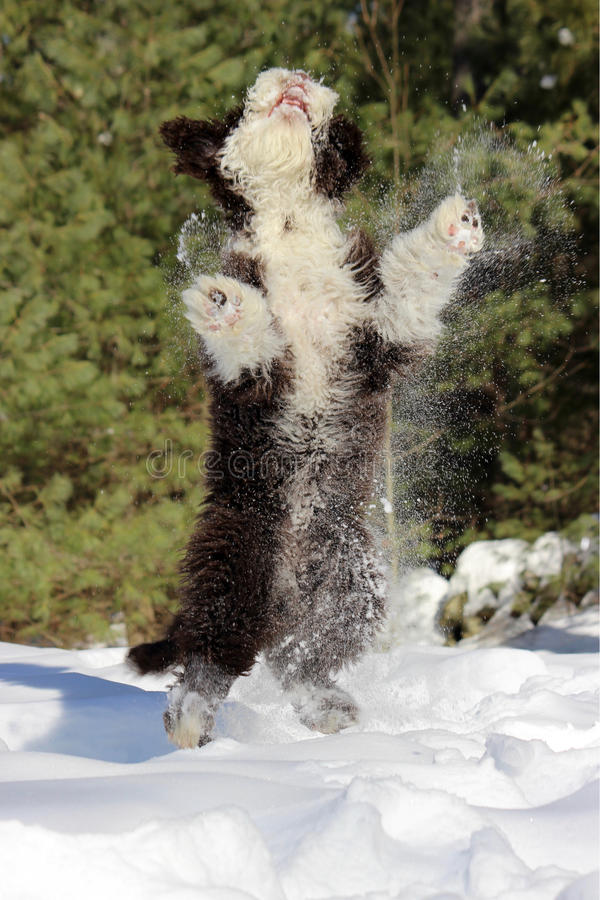 Jump for Joy. A joyful puppy playing in the snow