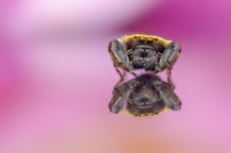 Jumper. Beautiful jumper spider stock photography