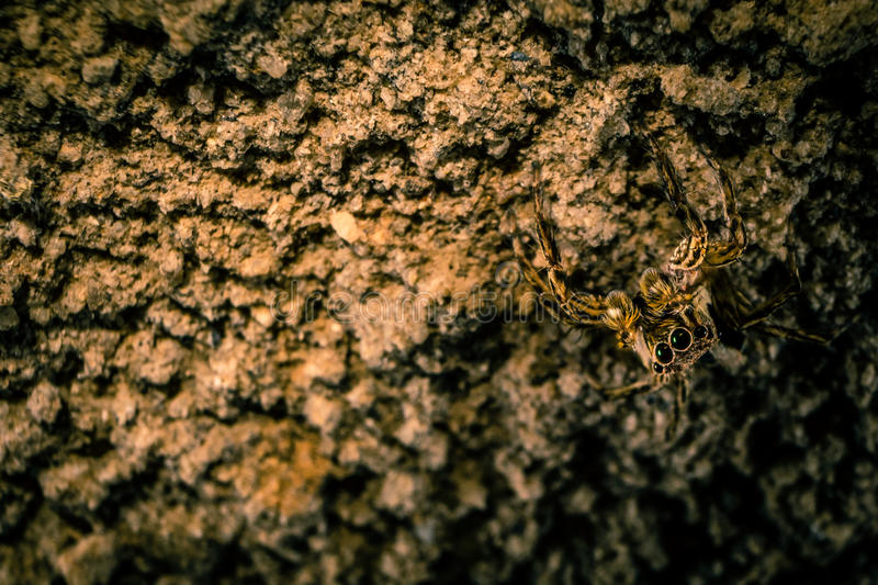 Jumper Spider Camouflage photo stock