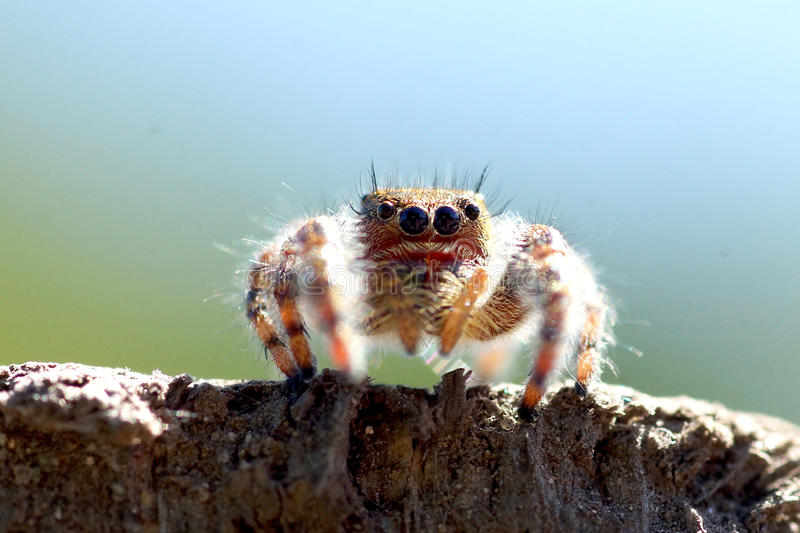 Jumping spider close up stock photography
