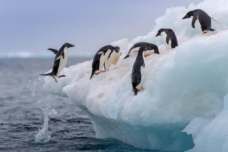 Jumping penguin. An Adelie (Adélie) penguin jumps on to an iceberg. royalty free stock images