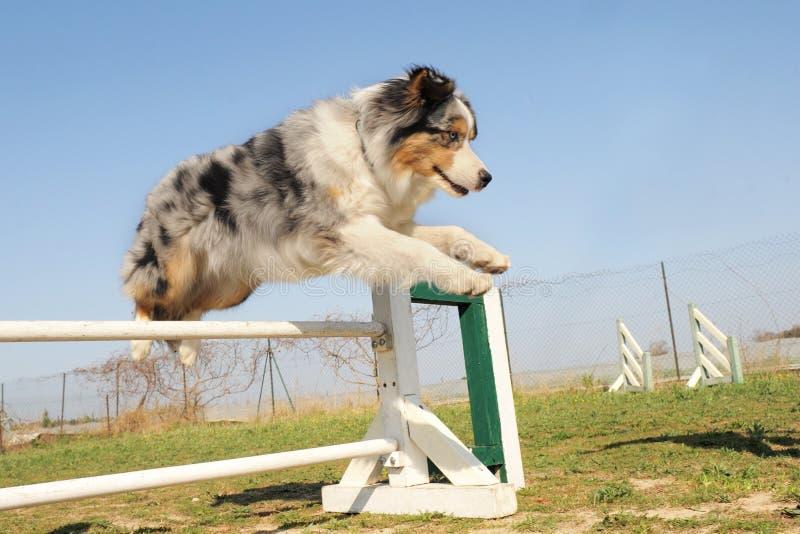 Jumping australian shepherd royalty free stock photo
