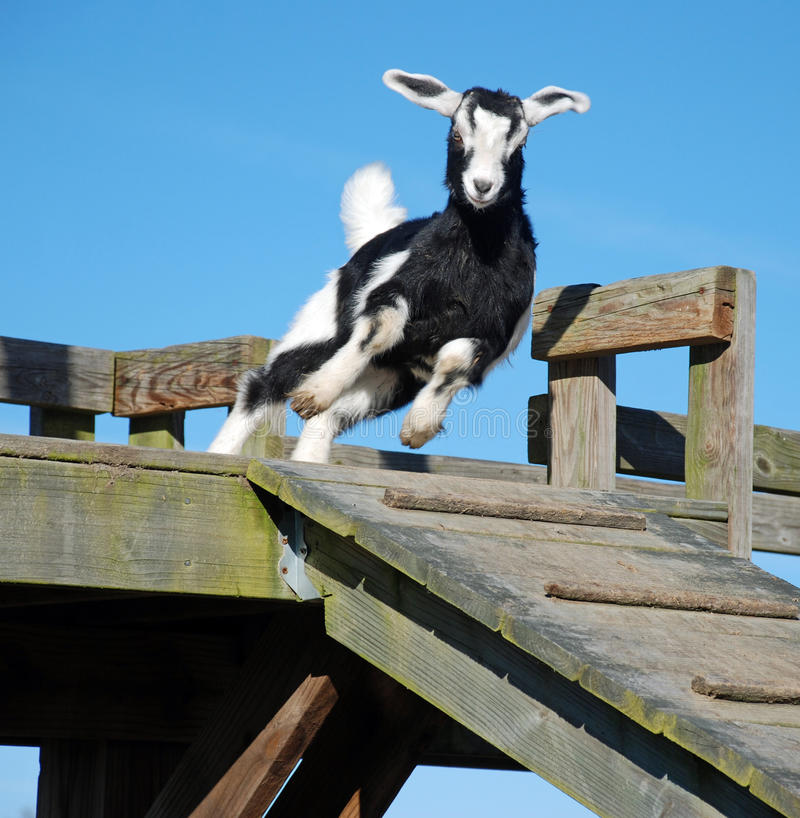Free Jumping Baby Goat Kid Royalty Free Stock Image - 12343696