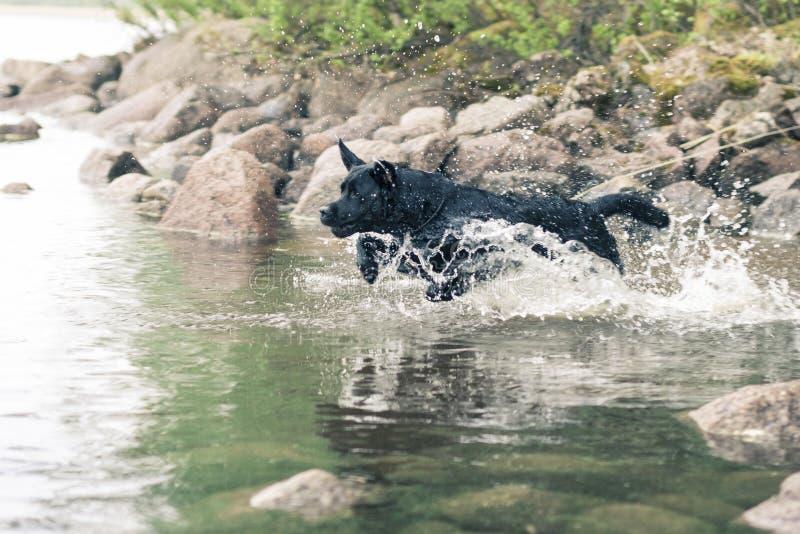 Jumping. Black Labrador Retriever Jumping Into Water at Summer stock image