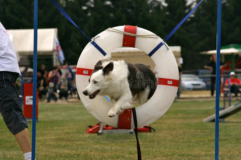 Jumping Border Collie. A Border Collie jumping through a ring during an agility contest royalty free stock images