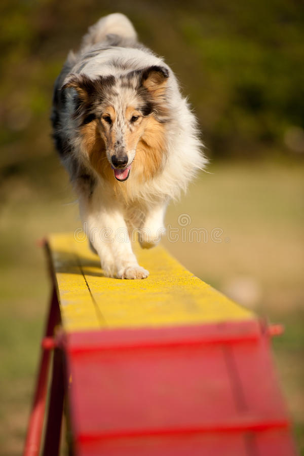 Jumping border collie on agility course. In the forest stock photography