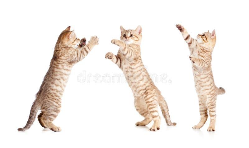 Jumping british kitten set royalty free stock photo