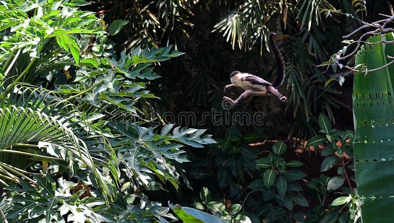 Jumping Capuchin Monkey royalty free stock photos