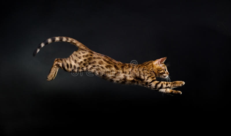 Jumping cat. Bengal kitten in jump. Studio photo