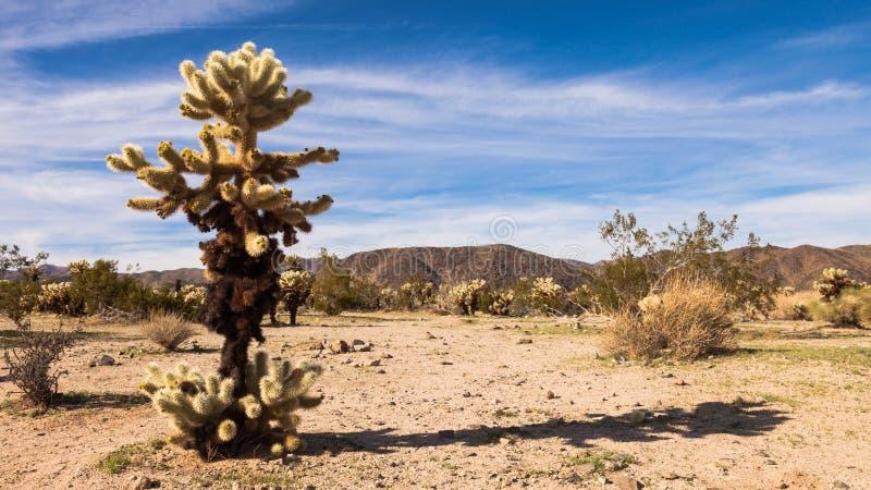 Jumping Cholla Cactus Panorama royalty free stock photos