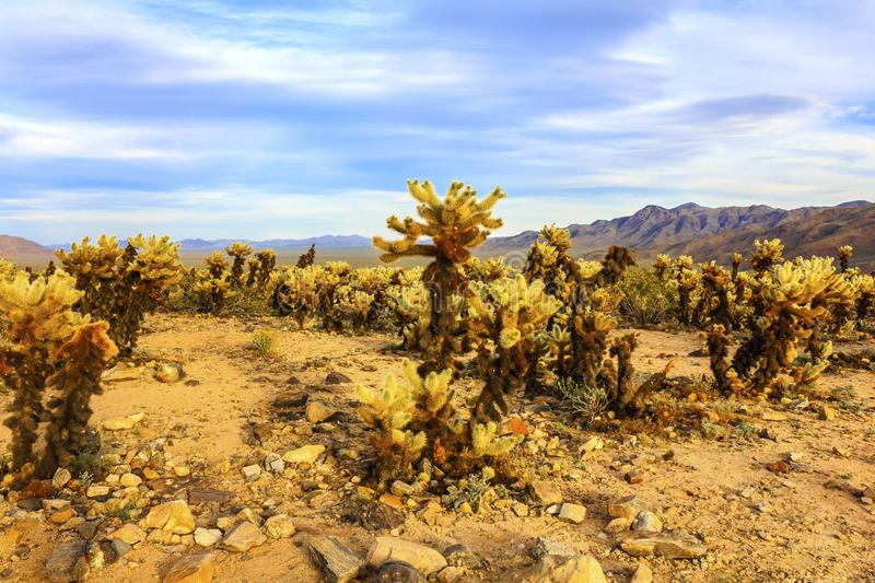 Jumping Cholla cactuses in the Cactus Garden area, Joshua Tree National Park, California, USA. Mountains in the background stock image