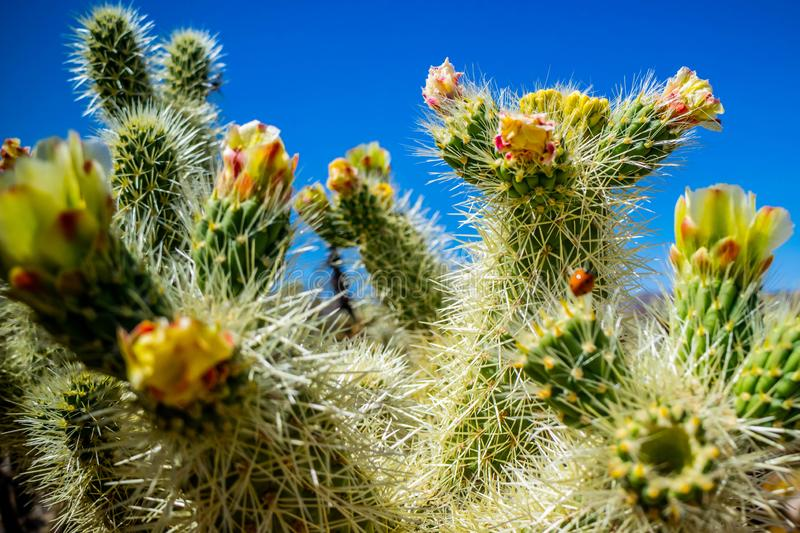 Chain Fruit Cholla Cactus in Joshua National Park, California. A jumping cholla that looks like it attaches itself to anything that brushes by in Joshua National royalty free stock image