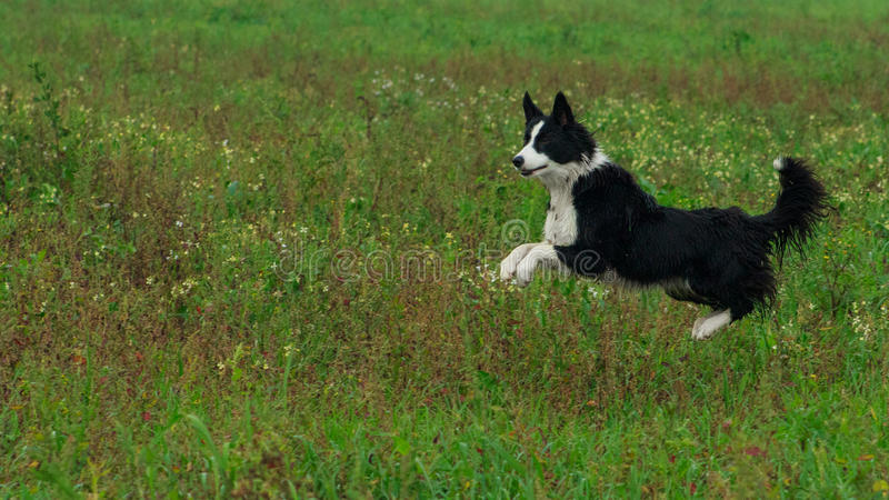 Jumping collie royalty free stock photo