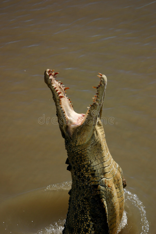 Jumping Crocodile Stock Images