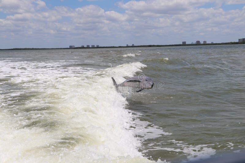 Jumping Delphin lizenzfreies stockfoto