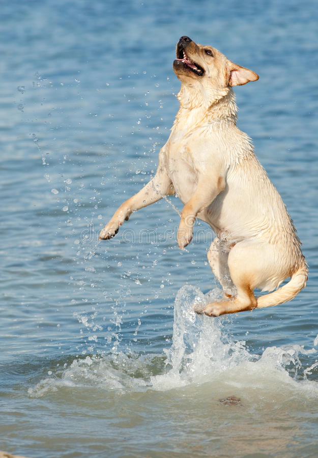 Jumping dog. Male dog of Labrador jumping high in the sea сausing lots of splashes stock photography