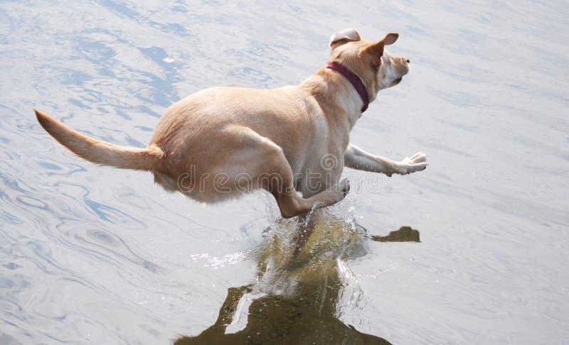 Jumping Dog. A labrador retriever jumping into a lake royalty free stock photos