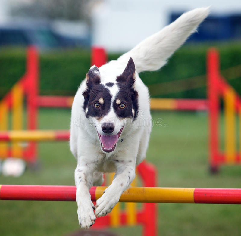 Free Jumping Dog Royalty Free Stock Photography - 24489087