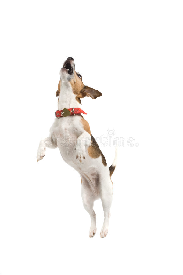Free Jumping Dog Royalty Free Stock Photo - 2865935