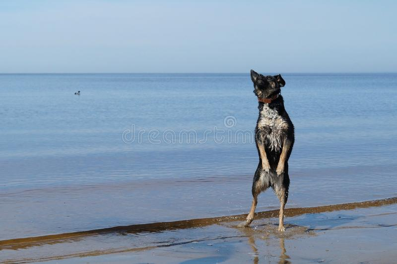 Jumping dog by the river stock image