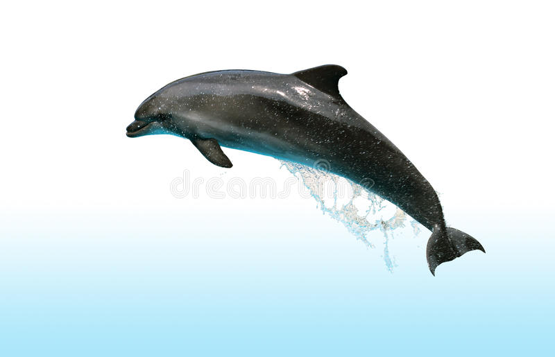 Jumping Dolphin. Dolphin jumping out of the water isolated on white background with clipping path