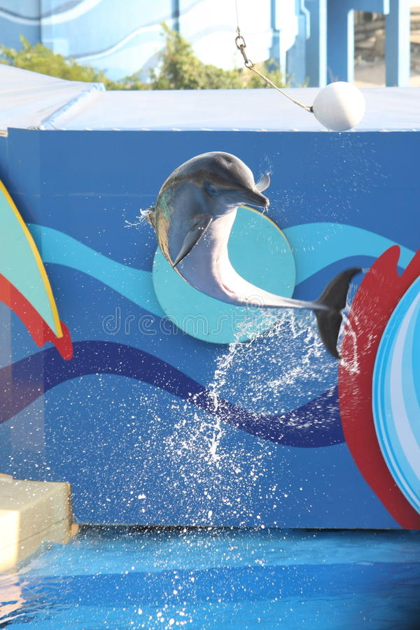 Jumping Dolphin. A dolphin jumping midair to perform a trick by kicking the ball with its nose. Shot at Ocean Park in Hong Kong stock photo