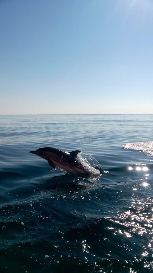 Jumping dolphin royalty free stock photos