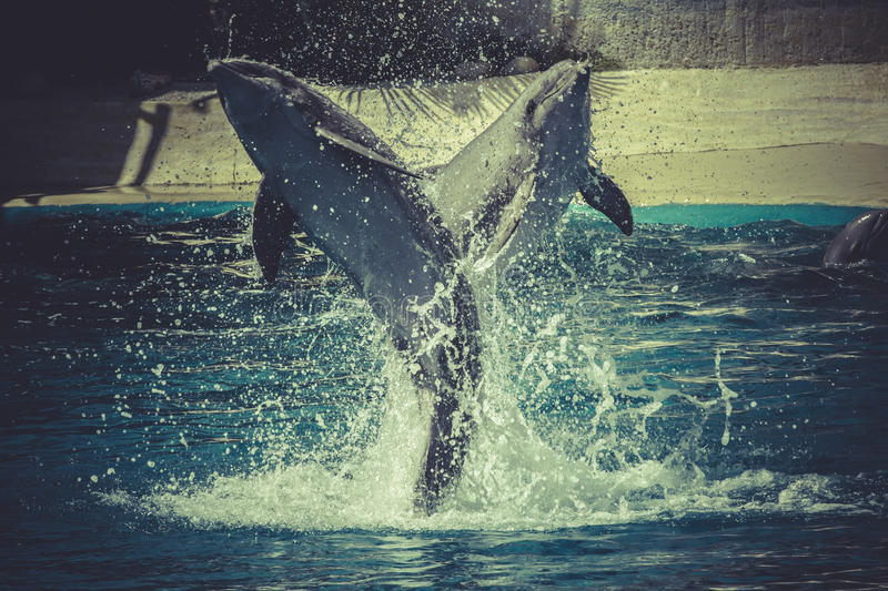 Jumping, dolphin jump out of the water in sea royalty free stock image