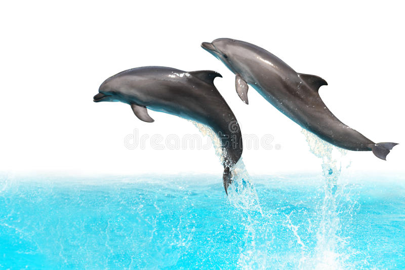 Jumping Dolphins. Two dolphins are jumping out of the water isolated on white background with clipping path