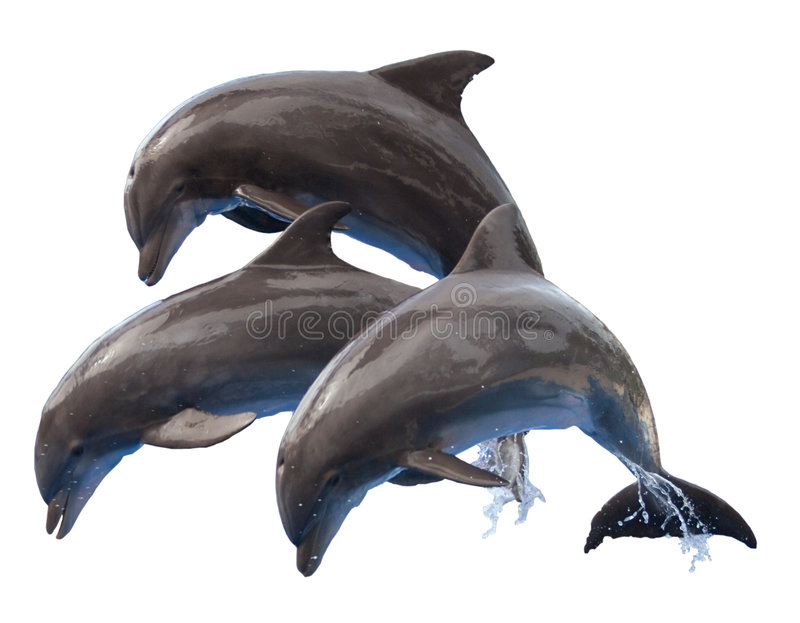 Jumping Dolphins Isolated. Three jumping dolphins isolated on a white background stock photography