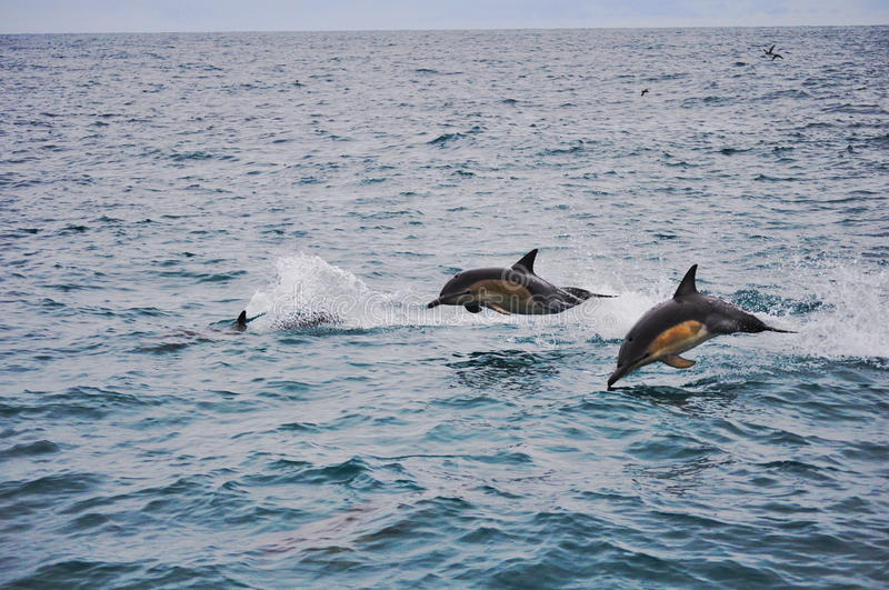Jumping Dolphins in Kaikoura, New Zealand royalty free stock photography