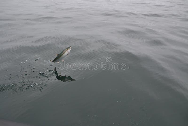 Jumping fish royalty free stock image