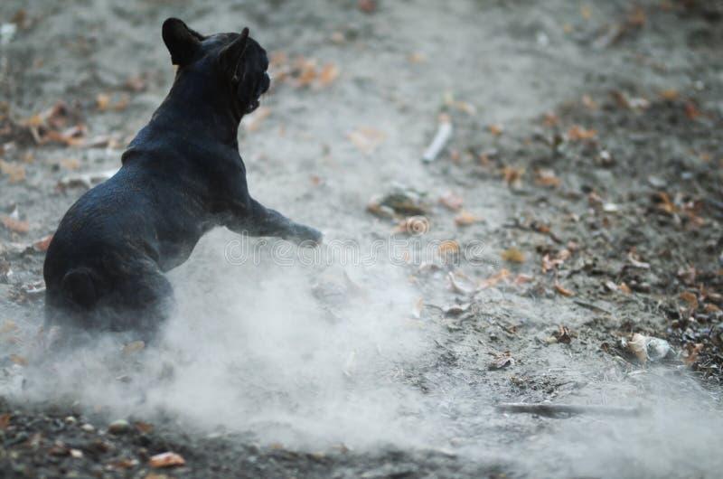 Jumping french bulldog stock photos