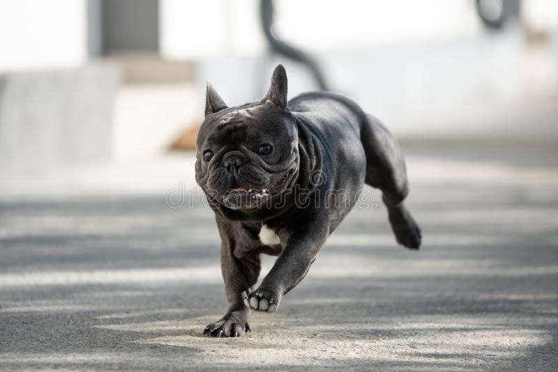 Jumping french bulldog outdoor portrait. Cute mammal purebreed being happy stock images