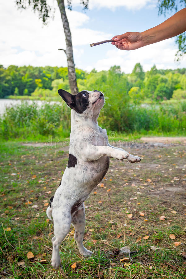 Download Jumping french bulldog stock photo. Image of friend, domestic - 33362106