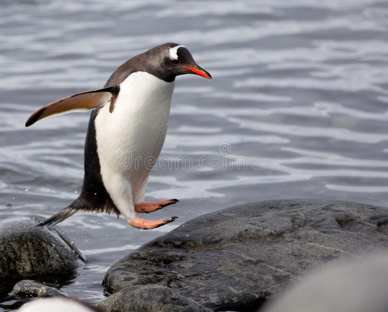 Jumping Gentoo Penguins. Gentoo penguin jumping from rock to rock stock photo