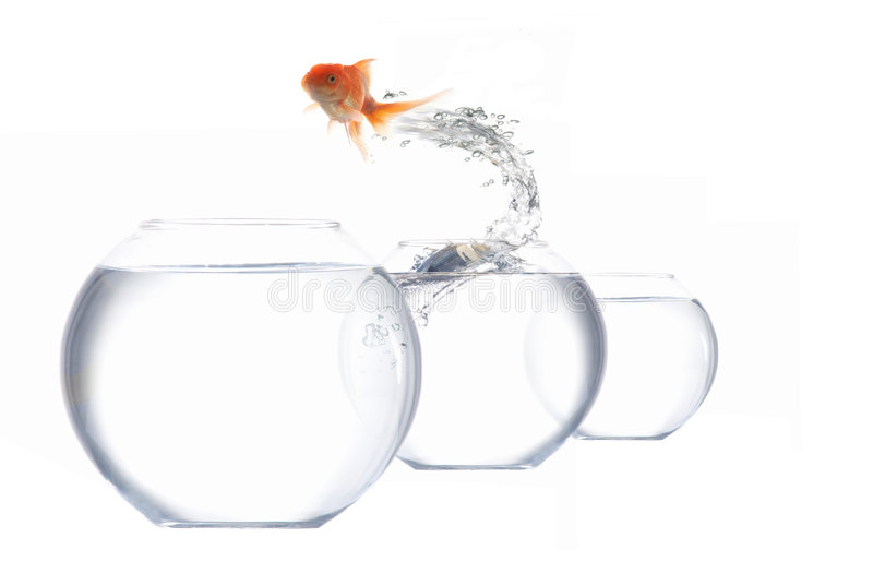 Jumping golden fish. An image of goldfish leaping out of the water royalty free stock images