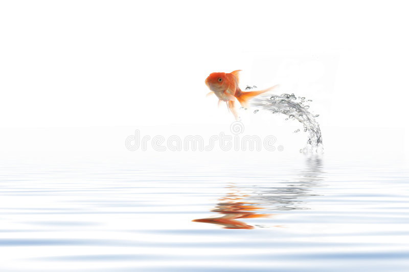 Jumping golden fish. A fish leaping out of the water stock image