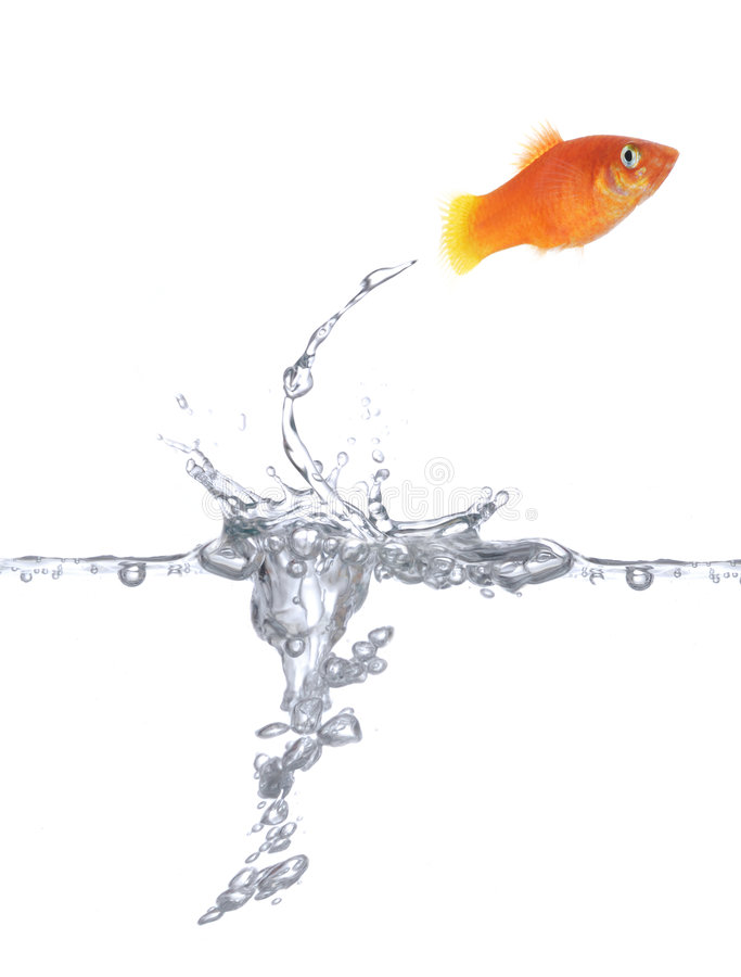 Jumping goldfish. Goldfish is jumping. Picture was made in a studio